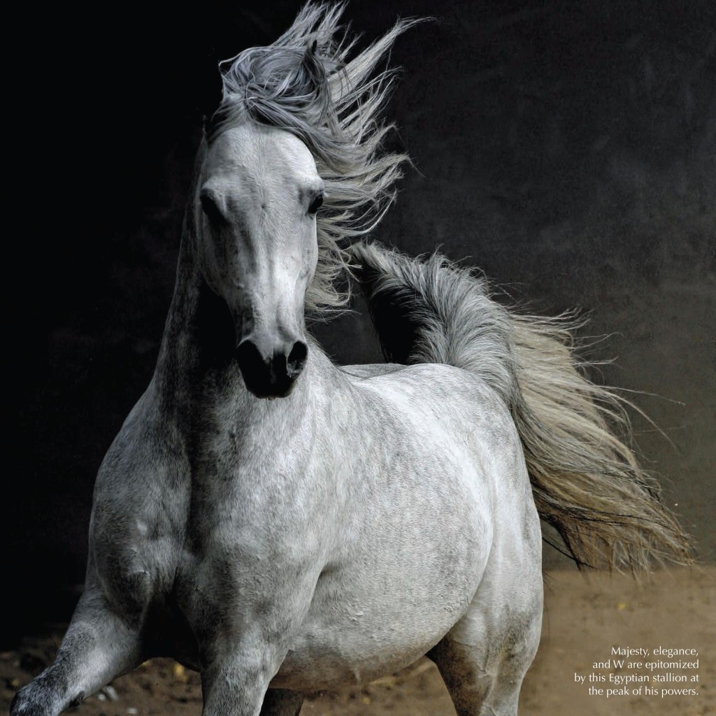 arabian horse Intro today almost every breed owes some of its genetics to the arabian horse the beautiful & mighty arabian is perhaps the fountainhead of the world's horse breeds.