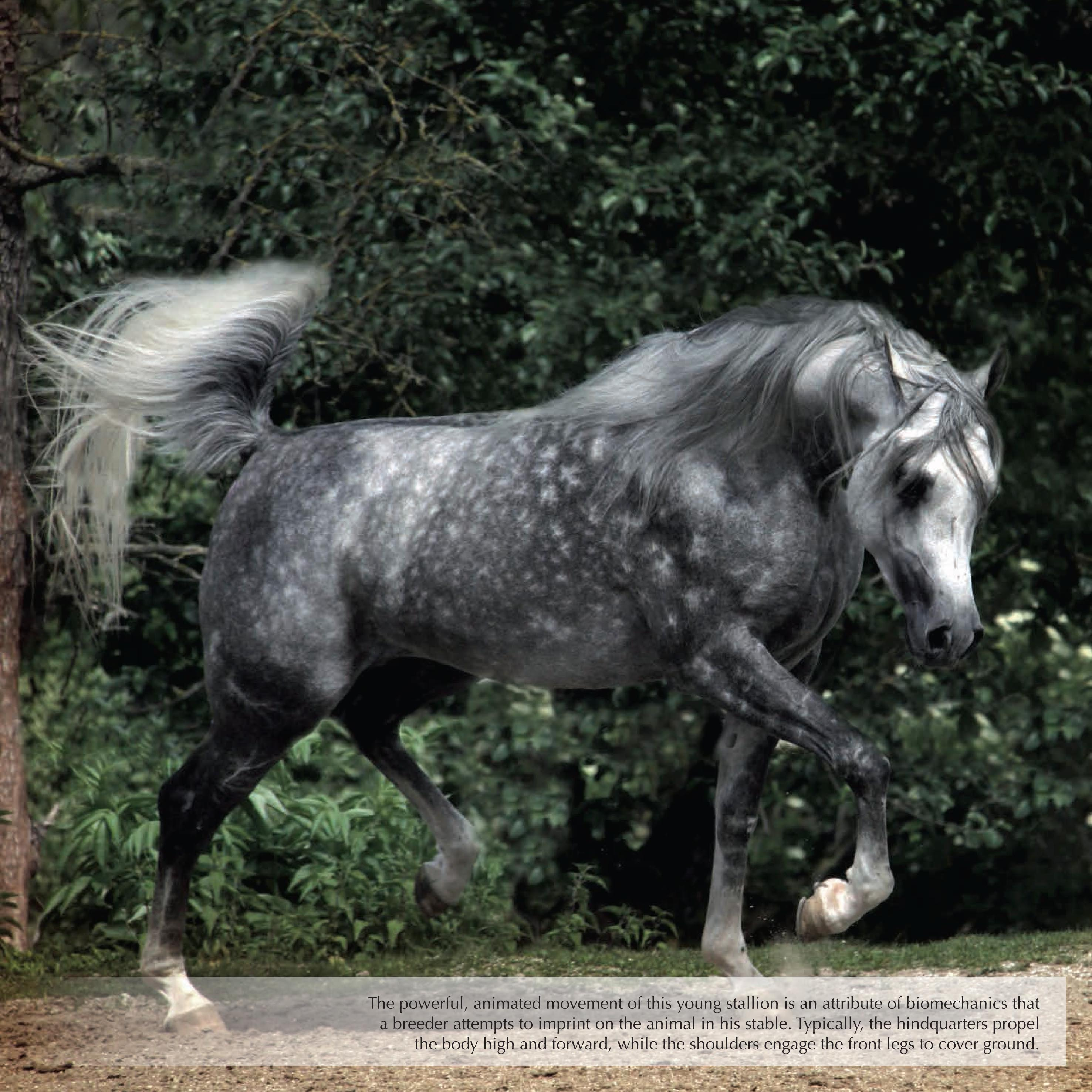 the history and the characteristics of the arabian horse The quarab horse is a cross breed of american  these are horses that bear the characteristics of both  or the arabian horse parent types of quarab horses.
