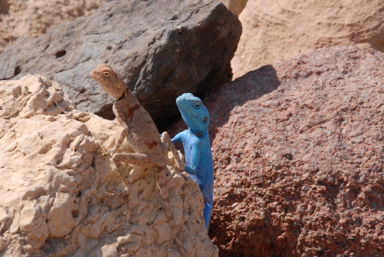 Feynan_Wild_life_Lizard_10_Sinai_Agama