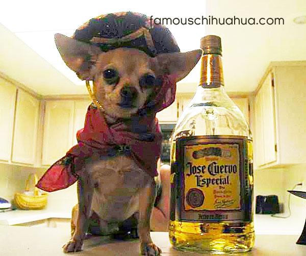 chihuahua-sombrero-tequila