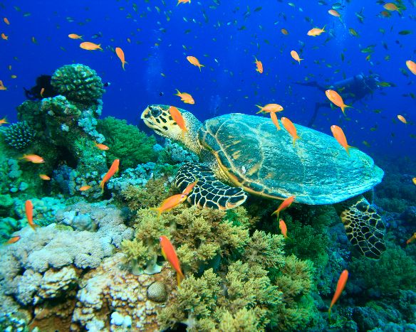 diving red sea turtle